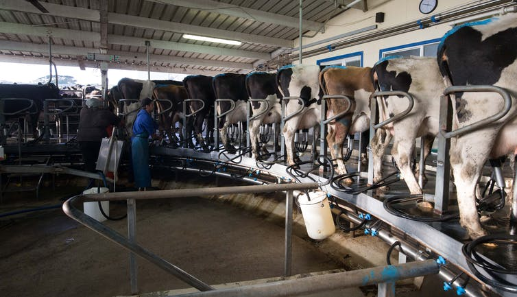 коров доят в современном хлеву